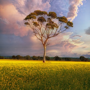 (CreativeWork) Lone Gum Tree in Canola Field - Framed Canvas Ed. 1 of 20 by Craig Hammersley. #<Filter:0x00007f1864cab5b0>. Shop online at Bluethumb.