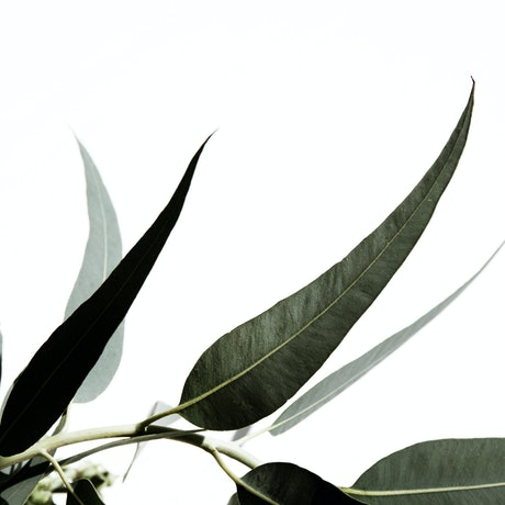 (CreativeWork) Eucalyptus Ed. 2 of 20 by Elizabeth Hosking. Photograph. Shop online at Bluethumb.