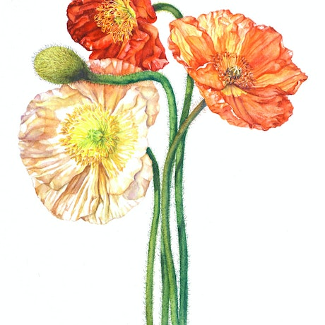 (CreativeWork) Poppies by Katherine Castle. Watercolour Paint. Shop online at Bluethumb.