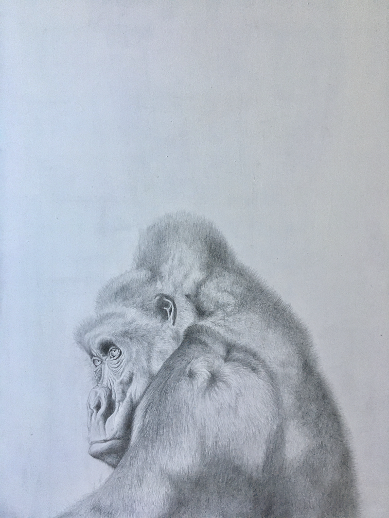 (CreativeWork) Gorilla by Sienna Kelly. Drawings. Shop online at Bluethumb.