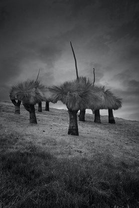 (CreativeWork) Grass Trees Ed. 1 of 25 by Craig Hammersley. Photograph. Shop online at Bluethumb.