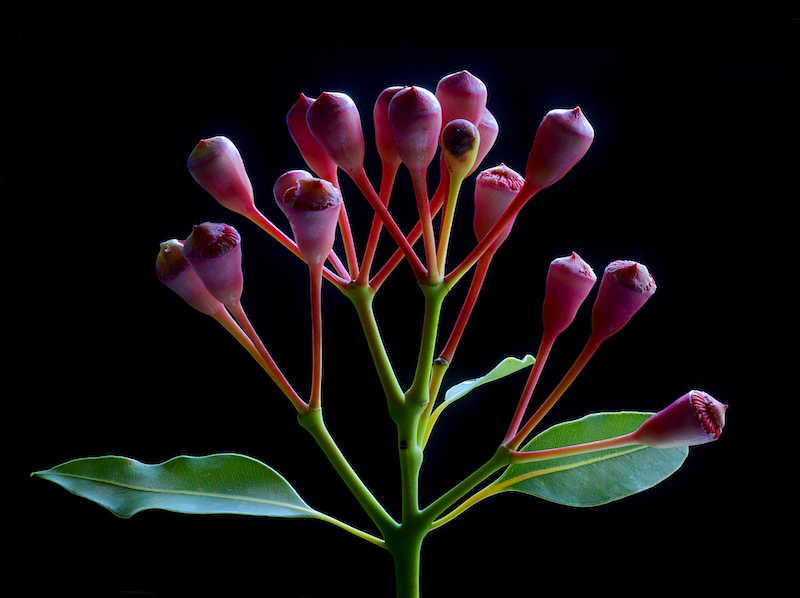 (CreativeWork) Red Flowering Eucalyptus Ed. 1 of 100 by Nadia Culph. Photograph. Shop online at Bluethumb.