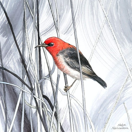 "(CreativeWork) ""Tangled"" - Scarlet Honeyeater - watercolour painting on paper by Nadya Neklioudova. Watercolour Paint. Shop online at Bluethumb."