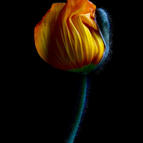 (CreativeWork) Yellow Poppy Bud Ed. 3 of 100 by Nadia Culph. Photograph. Shop online at Bluethumb.
