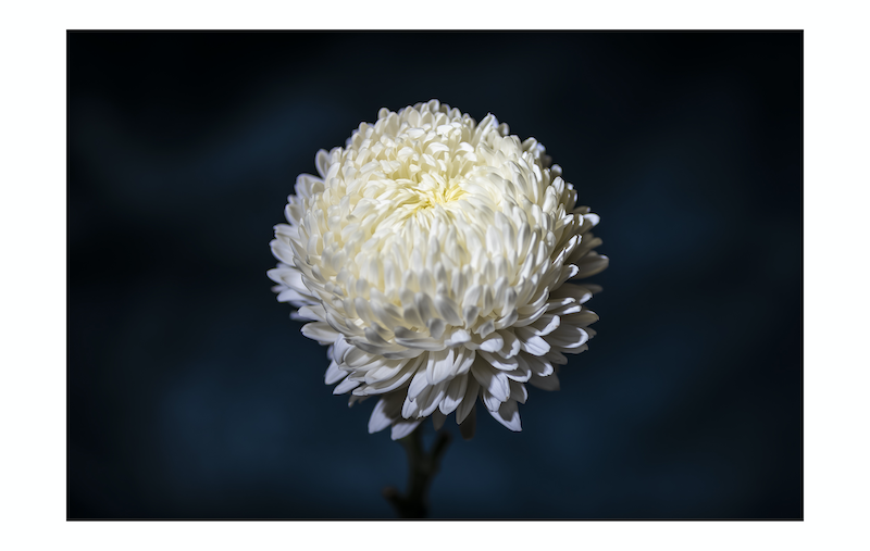 (CreativeWork) Flower Series 6 Ed. 1 of 20 by Adam Tucker. Photograph. Shop online at Bluethumb.
