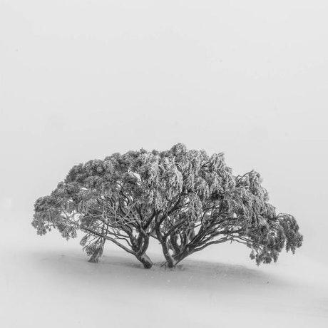 (CreativeWork) Lone Snow Gum Ed. 2 of 10 by Tom Putt. Photograph. Shop online at Bluethumb.