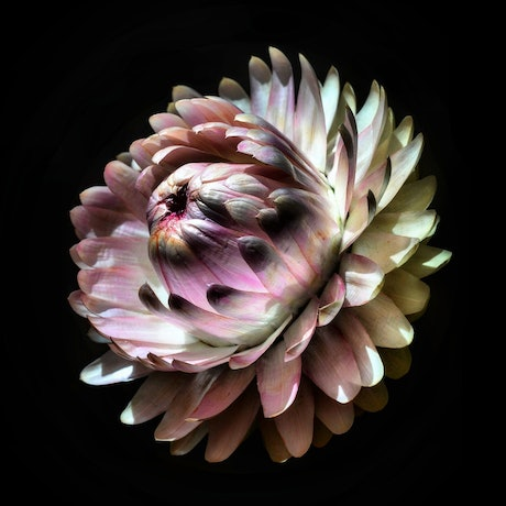 (CreativeWork) Pink Strawflower Ed. 1 of 100 by Nadia Culph. Photograph. Shop online at Bluethumb.