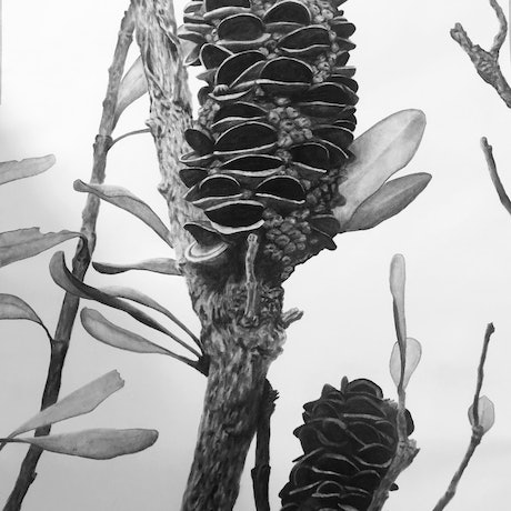 (CreativeWork) Middle Head Banksia 2 by Ro Geddes. Drawings. Shop online at Bluethumb.