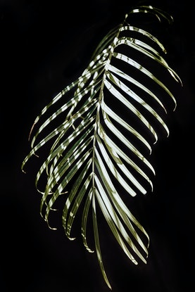 (CreativeWork) Palm Leaf by Elizabeth Hosking. Photograph. Shop online at Bluethumb.
