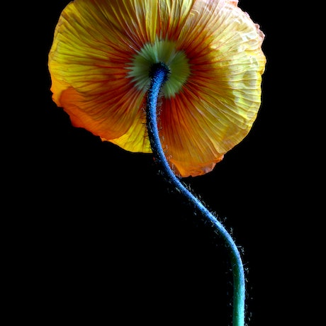 (CreativeWork) Yellow Poppy Pose 2 Ed. 1 of 100 by Nadia Culph. Photograph. Shop online at Bluethumb.
