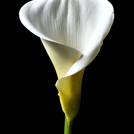 (CreativeWork) Calla Lily In Colour Ed. 1 of 100 by Nadia Culph. Photograph. Shop online at Bluethumb.