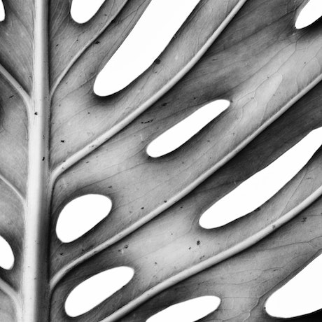 (CreativeWork) Monochrome Monstera Ed. 1 of 100 by Nadia Culph. Photograph. Shop online at Bluethumb.