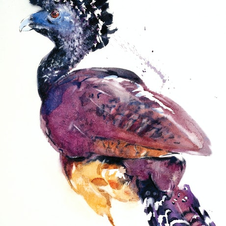 (CreativeWork) Great Curassow by Soo Beng Lim. Watercolour Paint. Shop online at Bluethumb.