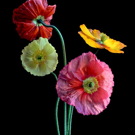 (CreativeWork) Poppy Posy Ed. 1 of 100 by Nadia Culph. Photograph. Shop online at Bluethumb.