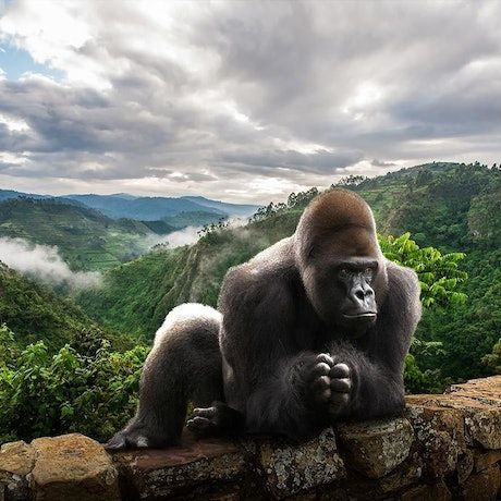 (CreativeWork) King Nyani on ledge by Gillie and Marc Schattner. Photograph. Shop online at Bluethumb.