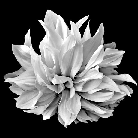 (CreativeWork) Black and White Dahlia Ed. 2 of 100 by Nadia Culph. Photograph. Shop online at Bluethumb.
