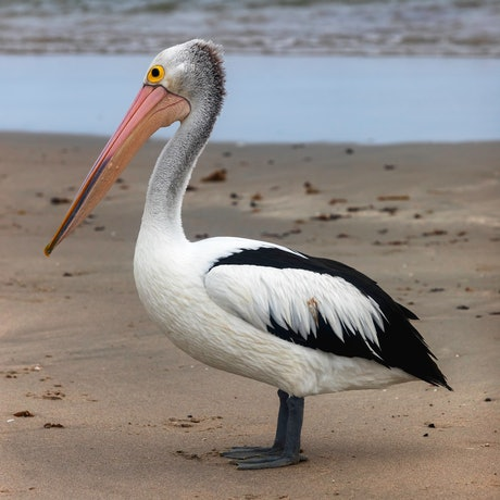 (CreativeWork) Pelican Ed. 1 of 20 by Craig Hammersley. Photograph. Shop online at Bluethumb.