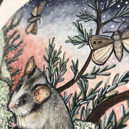 (CreativeWork) Mountain Pygmy Possum by Ingrid Bartkowiak. Watercolour Paint. Shop online at Bluethumb.