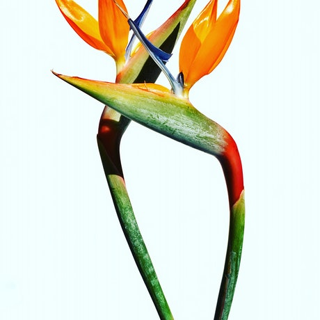 (CreativeWork) Bird Of Paradise  Ed. 1 of 100 by Nadia Culph. Photograph. Shop online at Bluethumb.