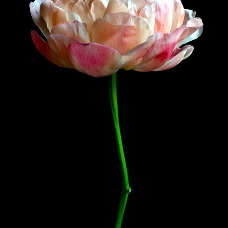 (CreativeWork) Single Stem French Peony  Ed. 1 of 100 by Nadia Culph. Photograph. Shop online at Bluethumb.