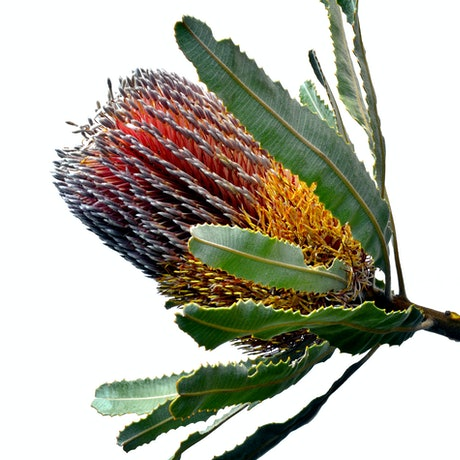 (CreativeWork) Banksia Menziesii Ed. 1 of 100 by Nadia Culph. Photograph. Shop online at Bluethumb.