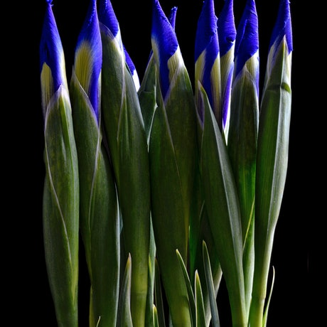 (CreativeWork) Irises In A Row Ed. 1 of 100 by Nadia Culph. Photograph. Shop online at Bluethumb.