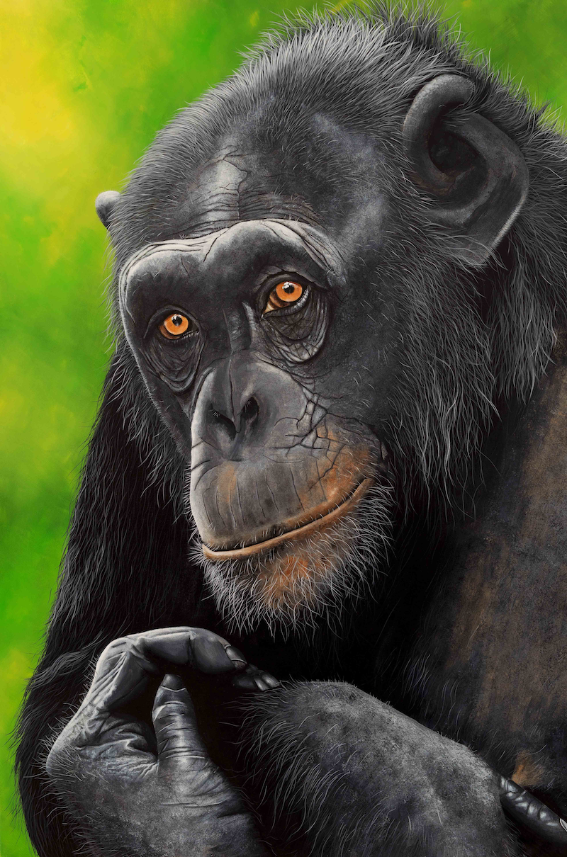 (CreativeWork) Sapphira Chimpanzee portrait Limited Edition Giclee Print Ed. 1 of 100 by Debra Dickson. Print. Shop online at Bluethumb.