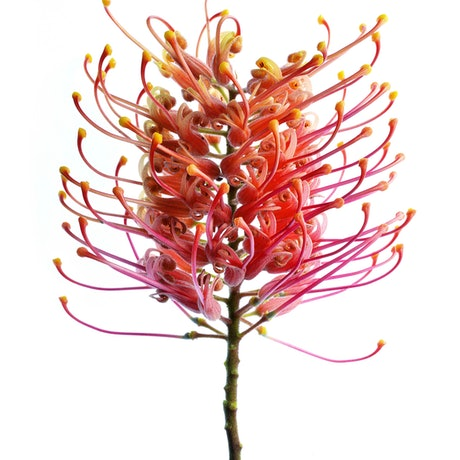 (CreativeWork) Grevillea Flower Ed. 1 of 100 by Nadia Culph. Photograph. Shop online at Bluethumb.
