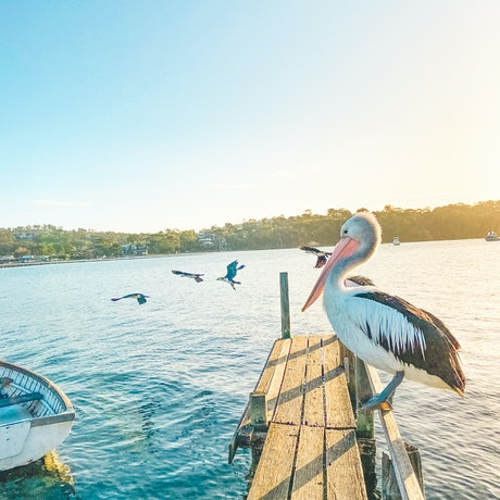 (CreativeWork) Pelican on the Jetty by Stephanie Tuckfield. Photograph. Shop online at Bluethumb.