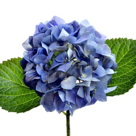 (CreativeWork) Blue Hydrangea  Ed. 1 of 100 by Nadia Culph. Photograph. Shop online at Bluethumb.