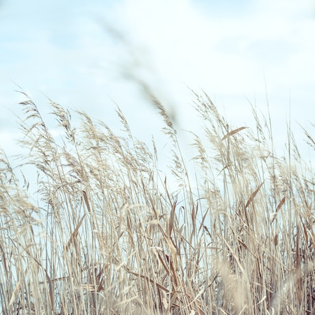 (CreativeWork) Dried summer grasses on the banks of the river. Ed. 1 of 5 by Wendy Philip. Photograph. Shop online at Bluethumb.