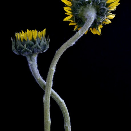 (CreativeWork) Sunflowers Entwined  Ed. 1 of 100 by Nadia Culph. Photograph. Shop online at Bluethumb.