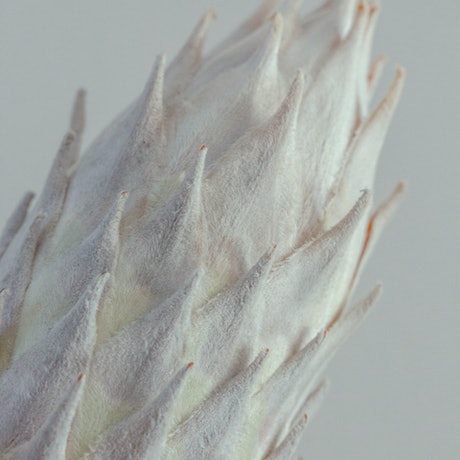 (CreativeWork) Dried Protea #2 Ed. 1 of 10 by Kate Lionis. Photograph. Shop online at Bluethumb.