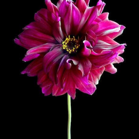 (CreativeWork) Magenta Dahlia Reimagined Ed. 1 of 50 by Nadia Culph. Photograph. Shop online at Bluethumb.