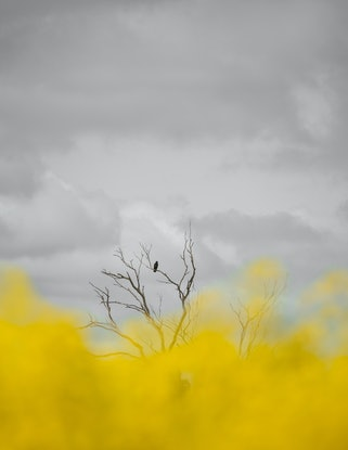 (CreativeWork) Crow in yellow. Ed. 1 of 5 by Wendy Philip. Photograph. Shop online at Bluethumb.