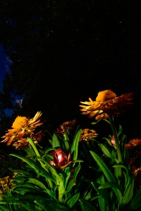 (CreativeWork) Flowers by night  Ed. 1 of 5 by Ed Fetahovic. Photograph. Shop online at Bluethumb.