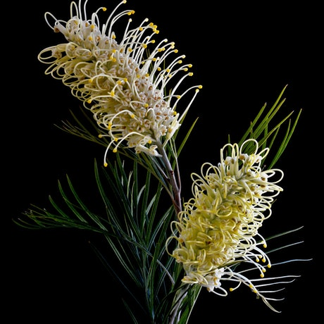 (CreativeWork) Grevillea Whiteana Ed. 1 of 50 by Nadia Culph. Photograph. Shop online at Bluethumb.