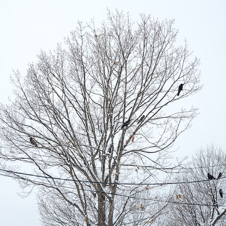 (CreativeWork) Crows (from Passing) Ed. 1 of 6 by Selina Wallace. Photograph. Shop online at Bluethumb.
