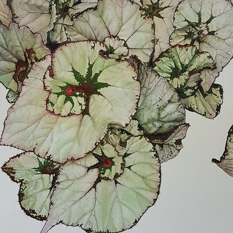 (CreativeWork) rex begonia by Claire Souter. Oil Paint. Shop online at Bluethumb.