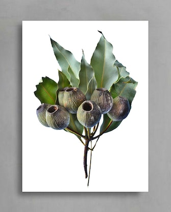 (CreativeWork) Gum Nuts Branch  Ed. 1 of 50 by Nadia Culph. Photograph. Shop online at Bluethumb.