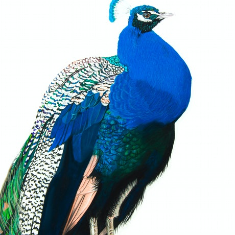 (CreativeWork) Portrait of a Peacock by Johanna Larkin. Mixed Media. Shop online at Bluethumb.