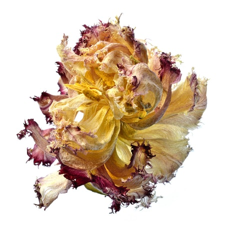 (CreativeWork) Beautiful Death ~ Dried Flower Still Life  Ed. 1 of 50 by Nadia Culph. Photograph. Shop online at Bluethumb.