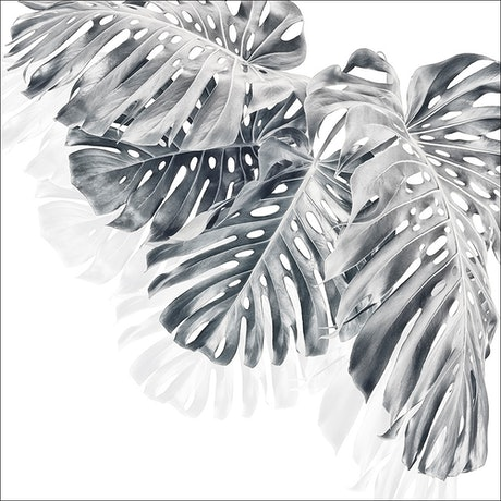 (CreativeWork) Monstera Group 4 - Black & White 2 Ed. 1 of 30 by ® Carmel Louise. Photograph. Shop online at Bluethumb.