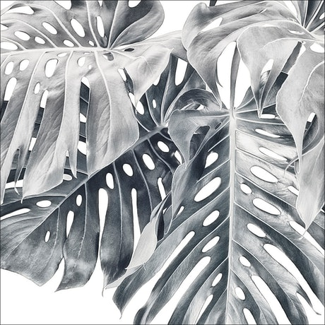 (CreativeWork) Monstera Group 4 - Black & White 3 Ed. 1 of 30 by ® Carmel Louise. Photograph. Shop online at Bluethumb.