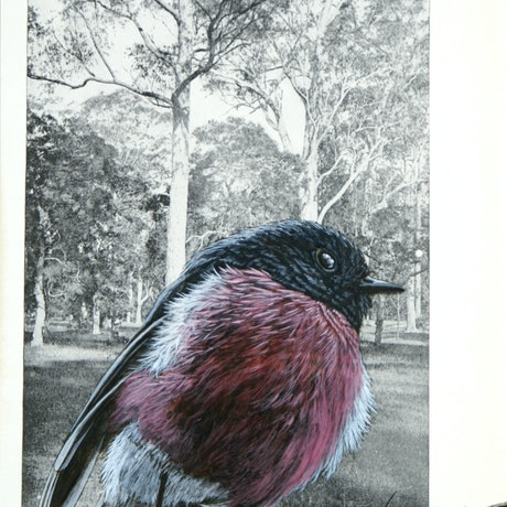(CreativeWork) Pink Robin on vintage (1948) page from 'What Bird is That?' by Neville W. Cayley by Craig Williams. Acrylic Paint. Shop online at Bluethumb.