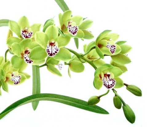 (CreativeWork) Cymbidium Green by Judy Morris. Drawings. Shop online at Bluethumb.