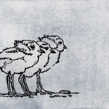 (CreativeWork) Plover Chicks (Etching) Ed. 3 of 10 by Lydie Paton. Print. Shop online at Bluethumb.
