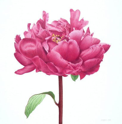 (CreativeWork) Peony 'Red Sarah Bernhardt' by Judy Morris. Drawings. Shop online at Bluethumb.