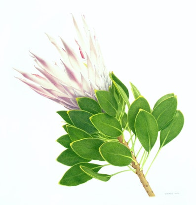 (CreativeWork) King Protea by Judy Morris. Drawings. Shop online at Bluethumb.
