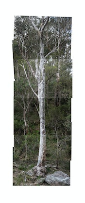(CreativeWork) 20. Tree-mendous Ed. 1 of 5 by Wendy McDougall. Photograph. Shop online at Bluethumb.